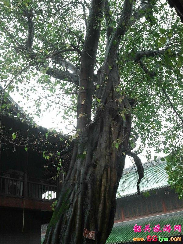 南华寺菩提树