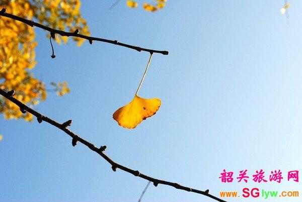 南雄银杏摄影
