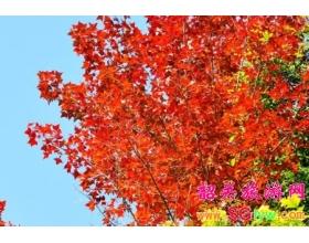 12月到韶关新丰云髻山看红红枫叶